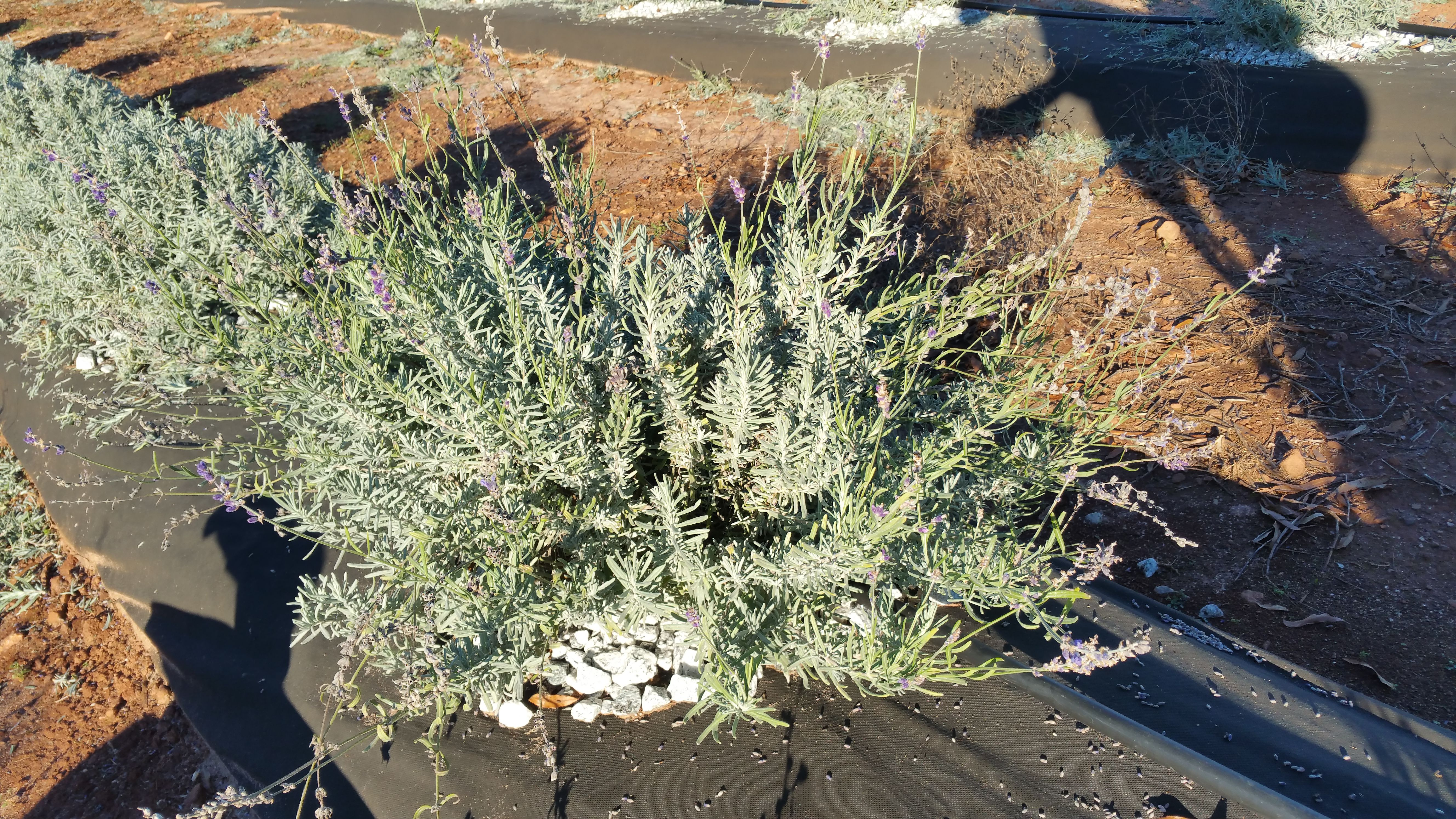 To Prune Or Not To Prune Southern Hills Lavender