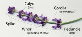 lavender_parts